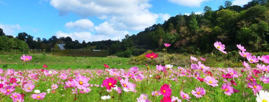 手前には赤・ピンク・白色のコスモスがたくさん咲いていて、中ほどには緑の草原と林、空には雲混じりの青空が広がっている。