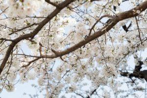 花開いた沢山の桜の花々