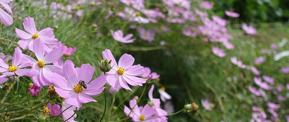 西谷の「宝塚西谷の森公園」近くに咲いているコスモス