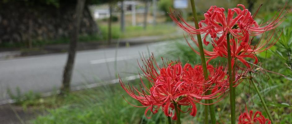 西谷の道端に咲いている3輪の彼岸花