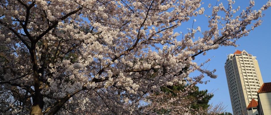 宝塚大橋近くのタワーマンションを背景に撮影された満開の桜