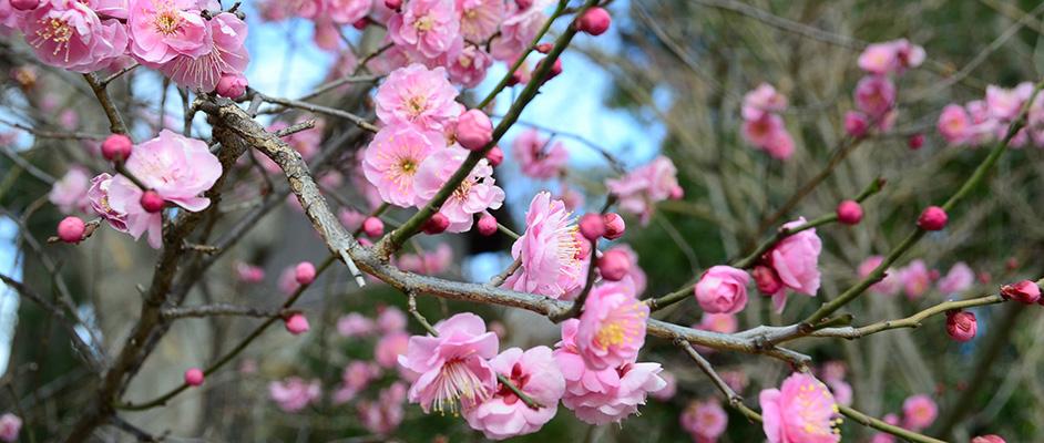 画像:大堀川沿いに鮮やかに咲いたピンク色の梅の花とつぼみ