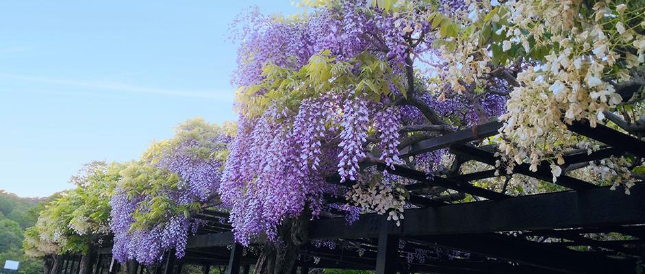 中山寺の藤棚に綺麗に咲いた紫色の藤の花