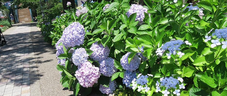 花のみちに紫とピンクの紫陽花が緑の葉とともに咲いており、左奥の道の先に階段が見える