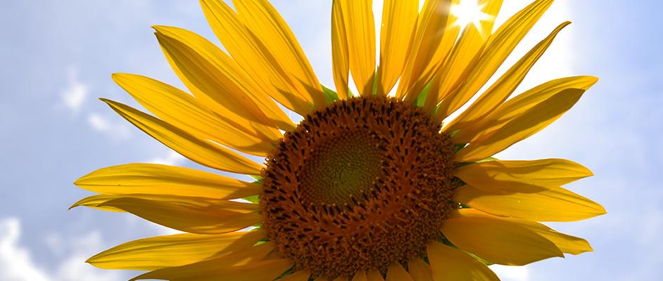 青空を背景に大輪の向日葵が一輪大きく写っており、太陽が花びらの間から輝きを放っている