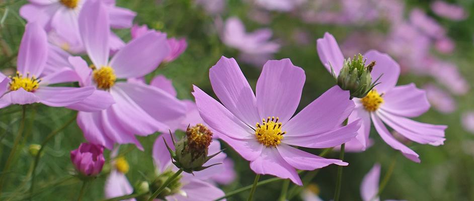 西谷にある宝塚西谷の森公園近くに咲いていた、薄紫に色づいた秋桜の花が手前に大きく4輪、背景にたくさん咲いており、手前に更に2つほどの蕾が見える