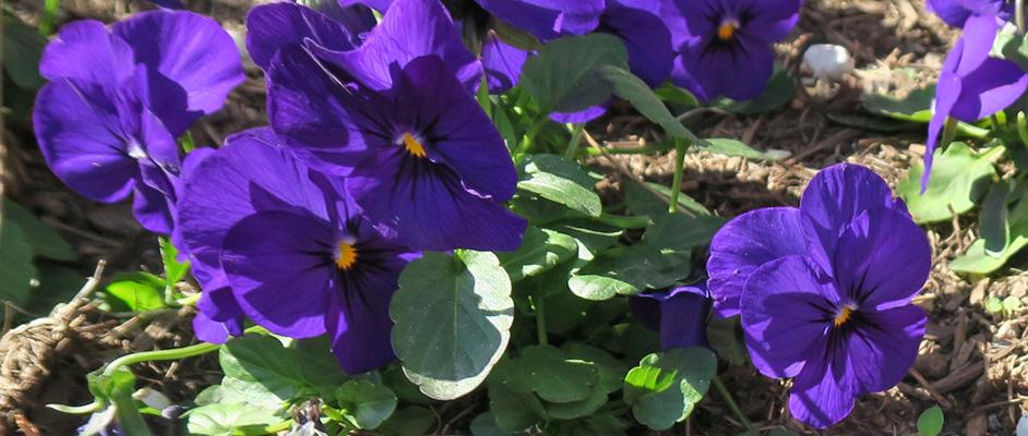 葉の緑と土の色を背景に、紫の花のパンジーが6、7輪ほど写っている