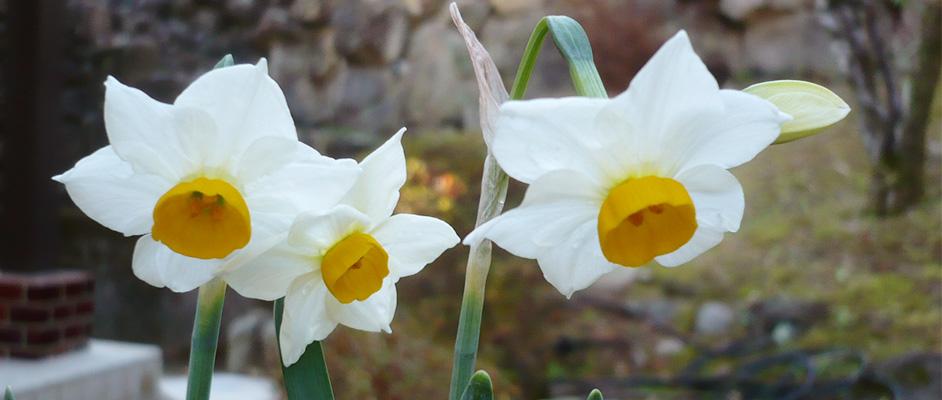 家庭にある岩壁を背景に、白と黄色の花弁が綺麗なスイセンが3輪写っている