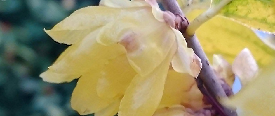 緑や黄色の葉を背景に、一本の枝に蠟梅の花が一輪大きく写っている