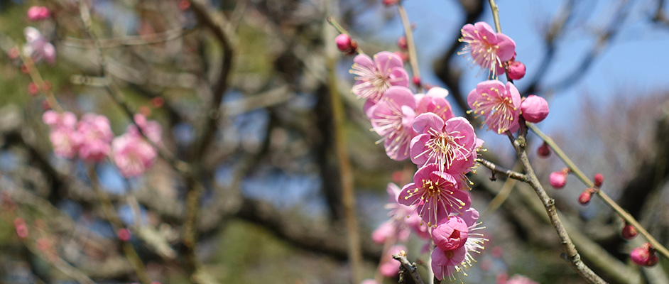 中山にある梅林に咲くピンク色の梅の花が8輪ほど咲いており、蕾もいくつか見える