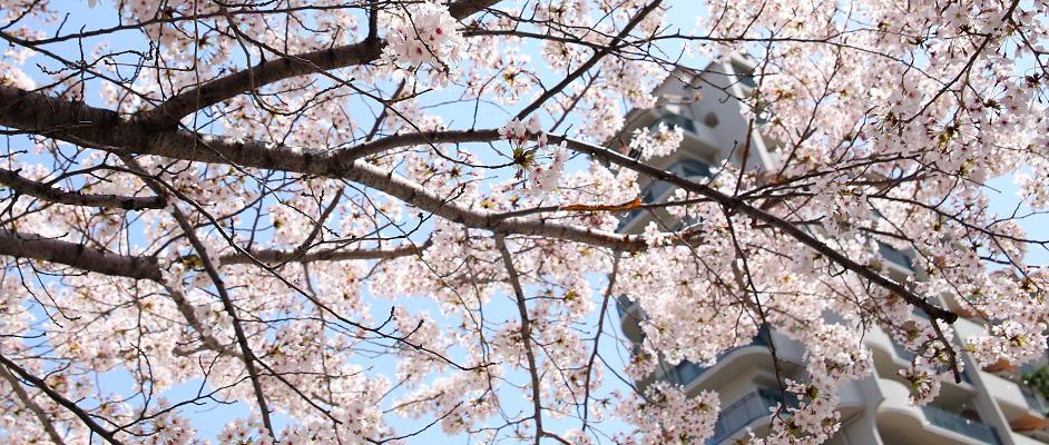 青空を背景に、「花のみち」に咲く満開の桜が全体的に咲き誇っている。背景の右寄りにはマンションが一棟ぼやけ気味に写っている