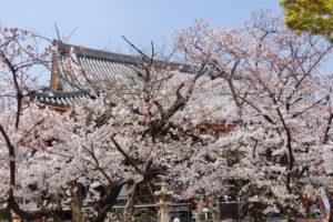 毫摂寺の境内に立ち並ぶ桜の木々の満開の姿が写っていいます。建物がその後ろに見え隠れしています。