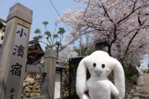 毫摂寺のメイン会場を出て他の会場に向かったまちキョン、小濱宿の入り口前にきました。まちキョンの後ろには街道沿いの満開の桜が写っています。