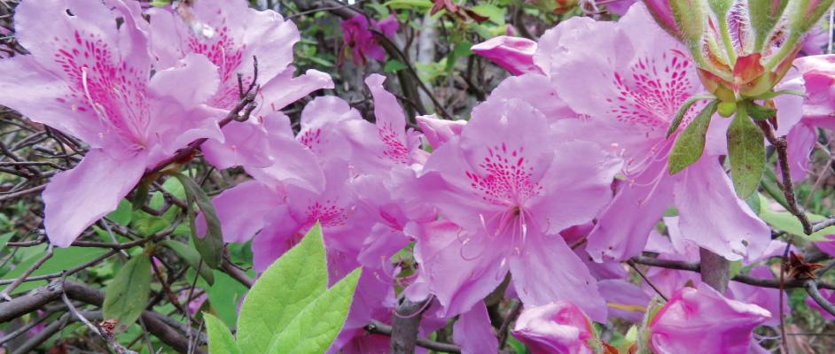 コミュニティひばりの地域で咲いていたモチツツジの花。大きく4輪ほどの花で、ピンクのグラデーションが綺麗に写っている。