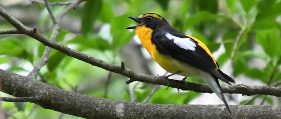 中山寺奥之院参道で細い枝にとまって鳴き声をあげているキビタキ。おなか側は黄色、頭や羽は黒で羽の中ほどには白い羽が少し見えている