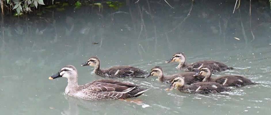 天神川の少し白く濁った水面を左手に向かって泳ぐカルガモたち。親が1羽おり、そのすぐそばを5羽の子供が続いている。
