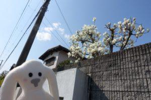 まち歩きの途中で、お家の石造りの塀からのぞく木の枝に白い花がいっぱい咲いているのを見つけました。モクレンかこぶしか? それをまちキョンが見上げています。