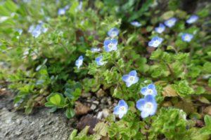 まち歩きの途中で見つけた、道端に咲く小さな青い花の群れ(オオイヌノフグリ?)が写っています。