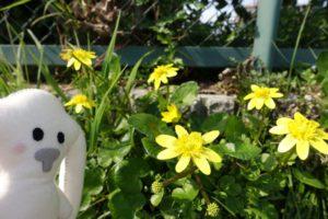 柵の下の低い崖に、黄色い花(リュウキンカ?)がいっぱい咲いているのが写っています。それを横からまちキョンが眺めています。
