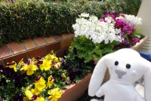 花壇を取り巻くように置かれたプランターに咲く花を眺めるようにまちキョンが立っています。黄色いにエンジの模様が入った花はパンジーかな? その横には白や紫の花がきれいに咲いています。