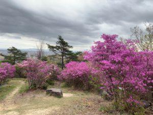 山手台南公園のミツバツツジ写真